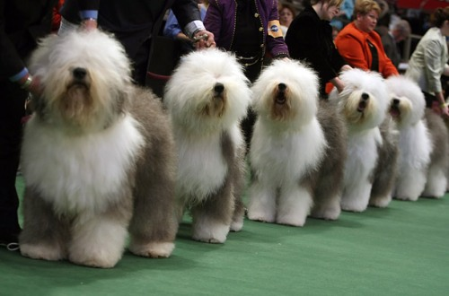Don't get excited, sheepdogs. The Herding Group has only won Best in Show once. Uploaded by timeinc.net.