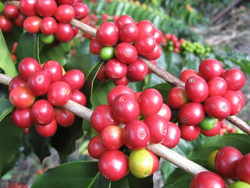 kona-coffee-by-punawelefarms2.jpg